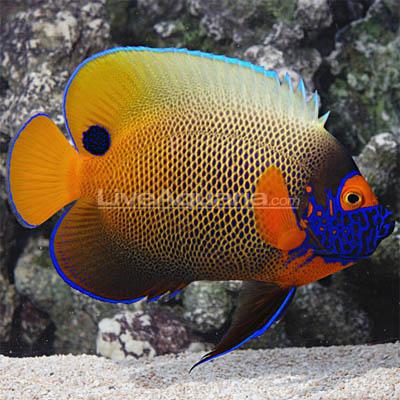 blueface-angelfish-lg