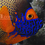 Blueface Angelfish at Live Aquaria
