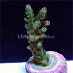 DFS Raspberry Limeade Nasuta – Live Aquaria Diver's Den