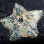 Asterina Starfish
