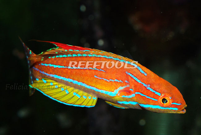 wrasses-yellow-fin-flasher-wrasse
