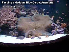Haddoni Blue Carpet Anemone Feeding on Silverside