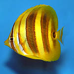Rainford's Butterflyfish