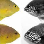 Fish use UV vision for secret communications