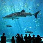 Atlantis Hotel releases Sammy the whale shark