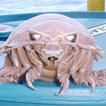 Giant Isopods of the Deep