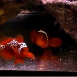 Lightning Maroon Clownfish pairing video
