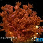 ORA Fiery Red Gonipora Revealed