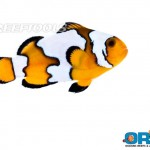 ORA Black Ice Semi-Snowflake clown fish