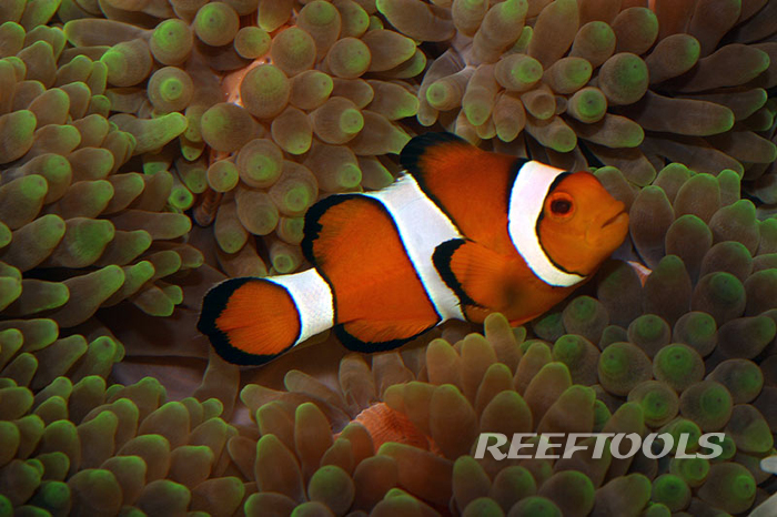 Ocellaris clownfish anemone - photo#28