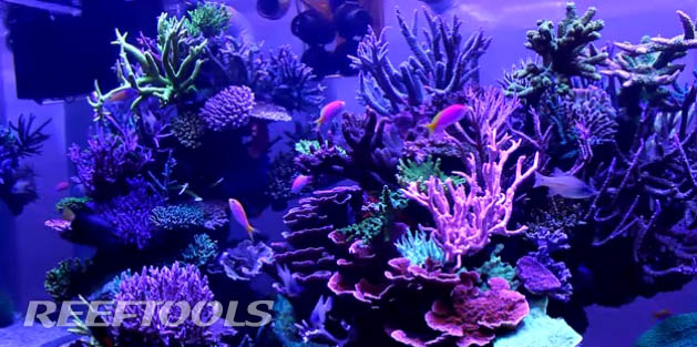 my-fishes-dsps-reef-tank