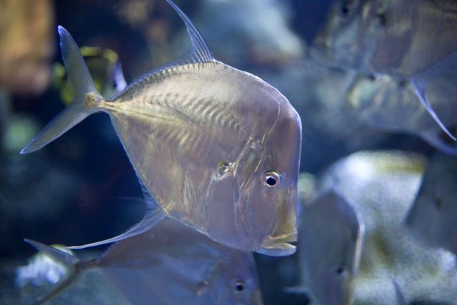 popularity of lookdown fish on the rise reef tools