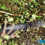 ora-alligator-3