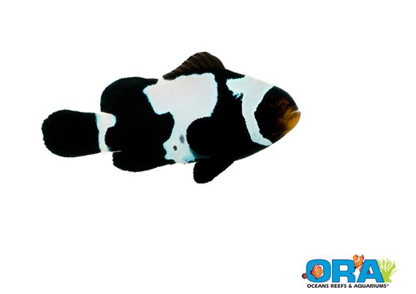 Ora black ice snowflake clownfish coming soon reef tools