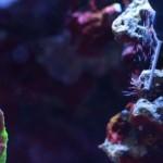 majano wand killing aiptasia reef tools